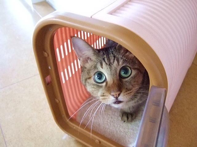 キャリーケースから覗く猫