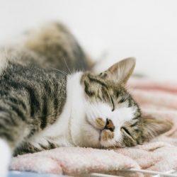気持ちよく寝ている猫