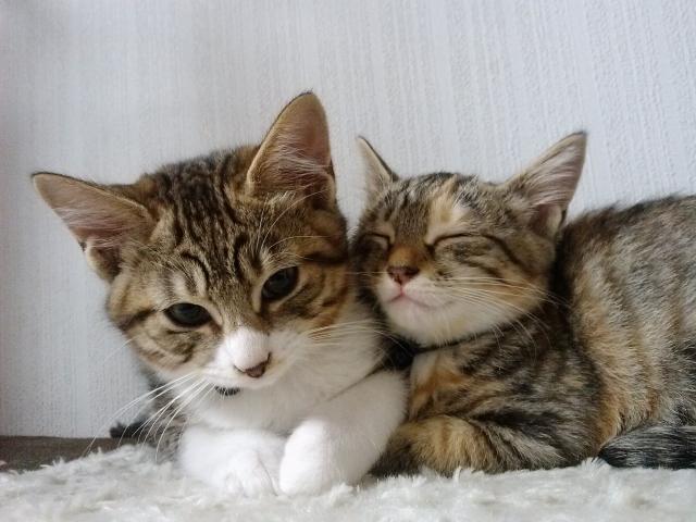 仲良くくっつく子猫