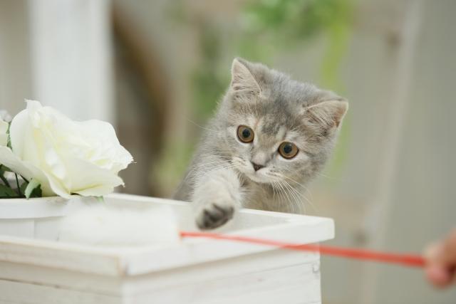 猫じゃらしで遊ぶ子猫