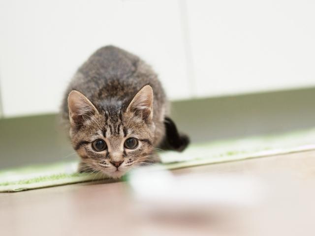 獲物を狙っている子猫