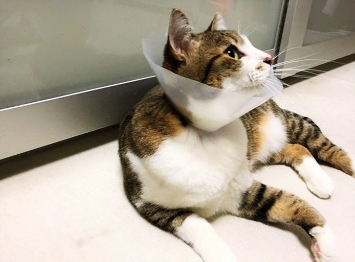セルフエリザベスカラーをつけている猫