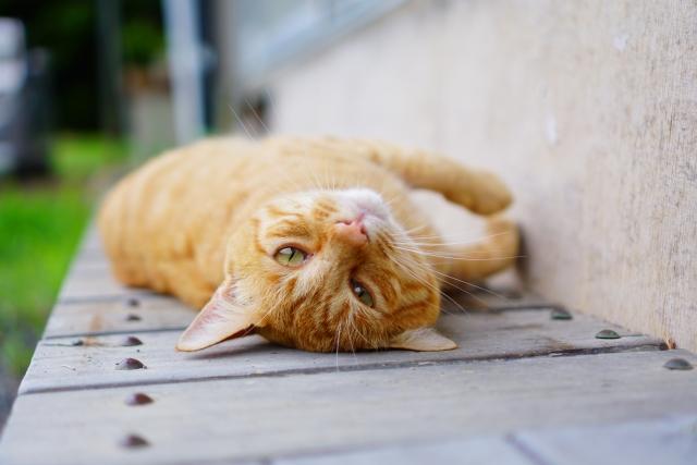 ゴロンと寝っころがる猫