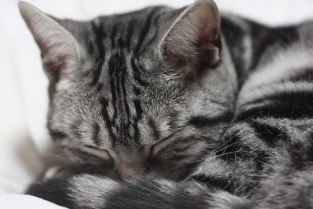 丸まって寝ている猫
