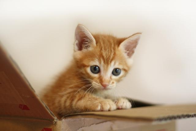段ボールから出ようとしている子猫