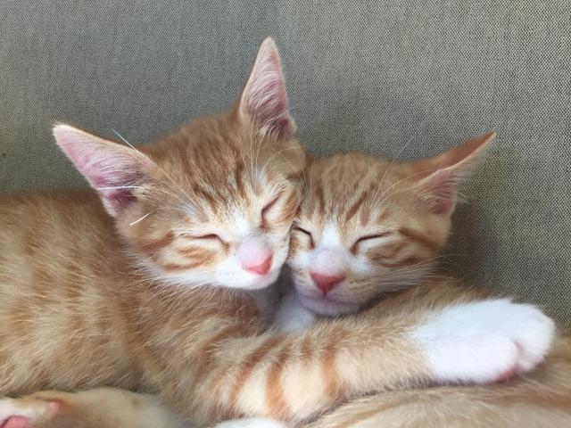 くっついて寝る子猫