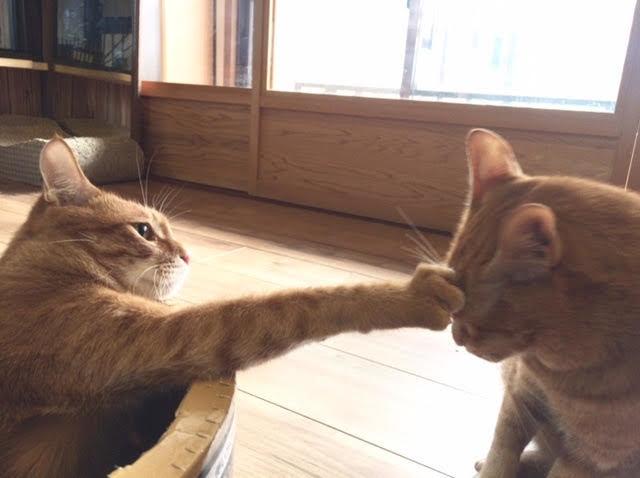 パンチしている猫