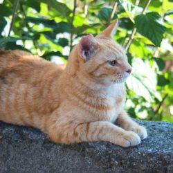 スフィンクス座りしている猫