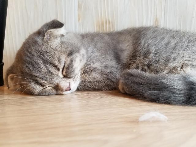 ネコ 寝ている猫