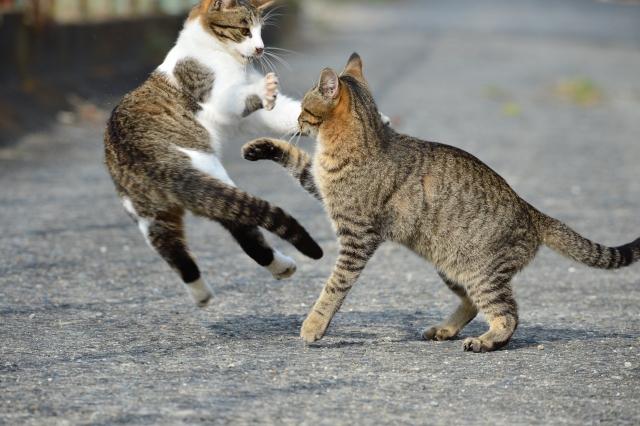 猫 ネコ 2匹で遊ぶ猫