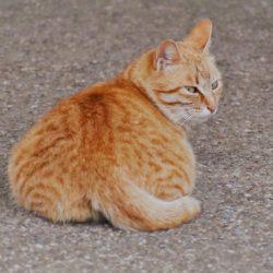 猫 ネコ しっぽ