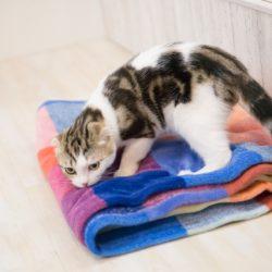 猫 ネコ 毛布の臭いをかぐ猫