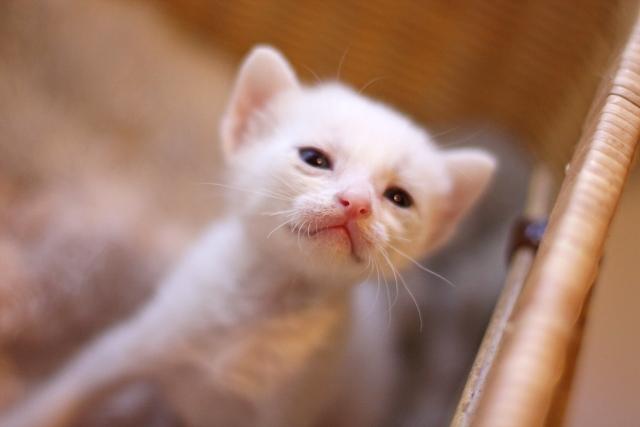 猫 ネコ ヤコブソン器官