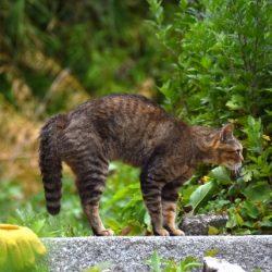 猫 ネコ しっぽをたらんと下げて威嚇している猫