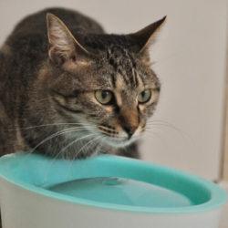 猫 ネコ 水を飲む猫