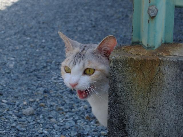 猫 ネコ 猫の鳴き声 怒って鳴いている猫