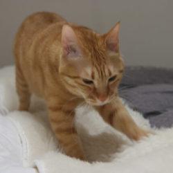 猫 ネコ ふみふみしている猫