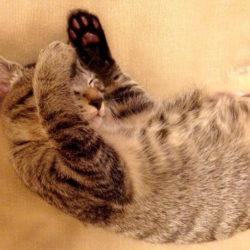 猫 ネコ 甘えている猫