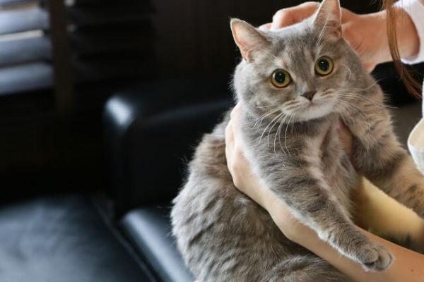 猫 ネコ 抱っこされている猫