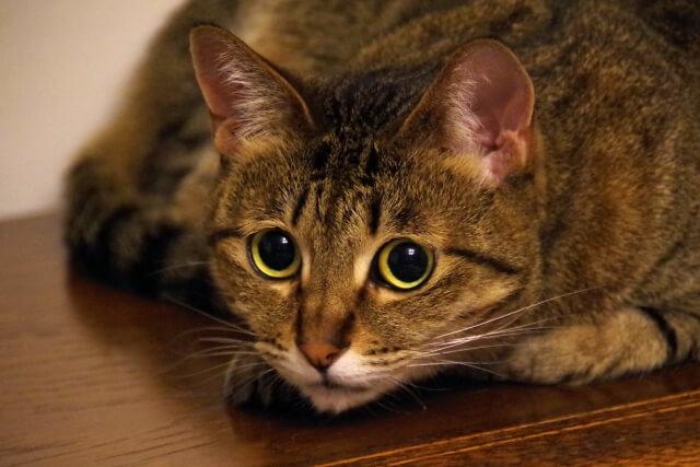 猫 ネコ 警戒する猫