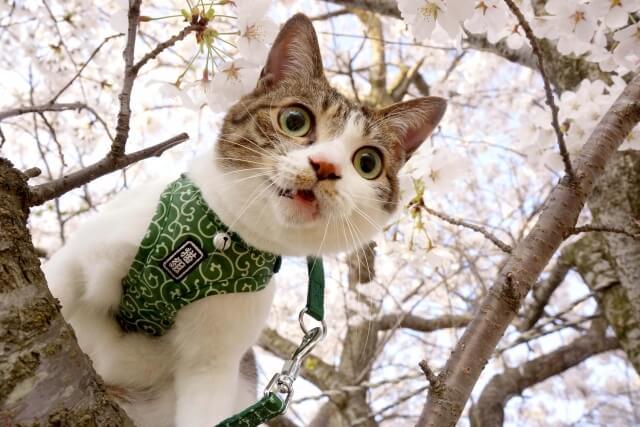 猫 ネコ 散歩している猫