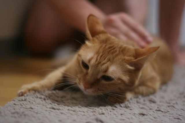 猫 ネコ 撫でられて喜ぶ猫
