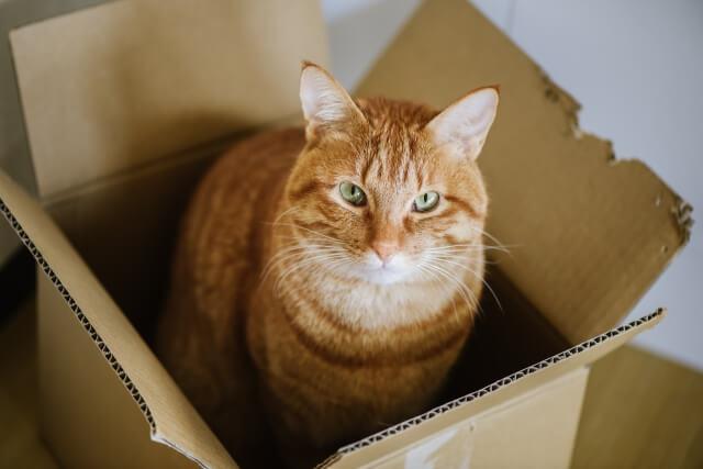 猫 ネコ 段ボールに入っている猫