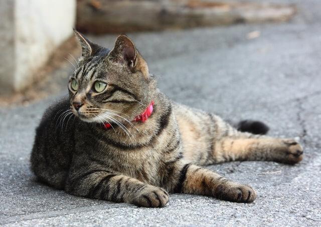 猫 ネコ 野生