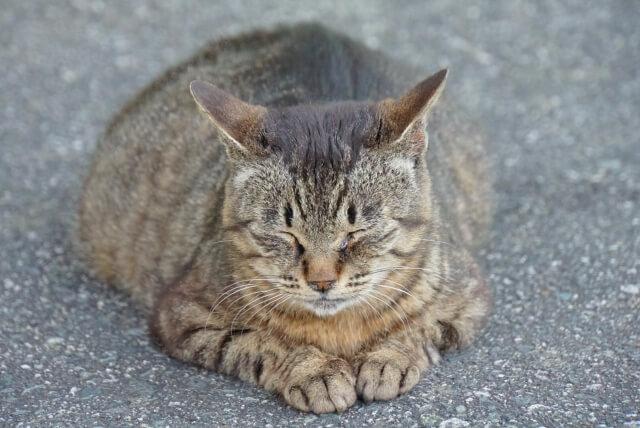 猫 ネコ スフィンクス