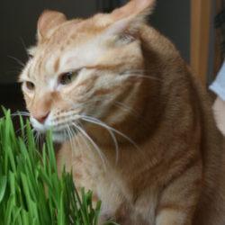 猫 ネコ 草を食べる猫