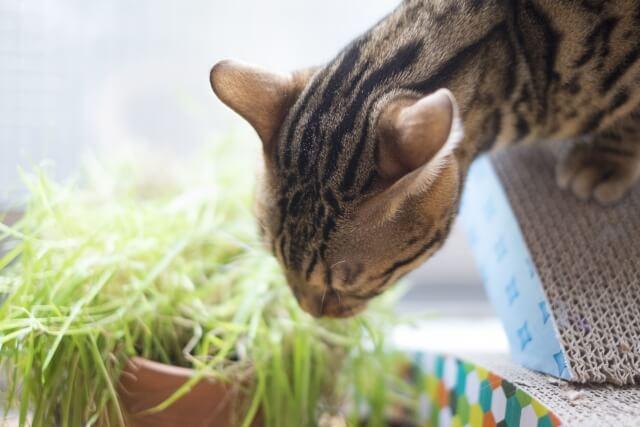 猫 ネコ 猫草を食べる猫