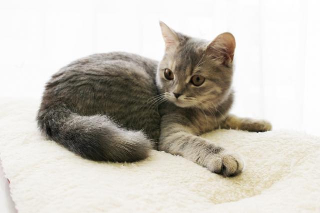 座っているブリティッシュショートヘアの子猫