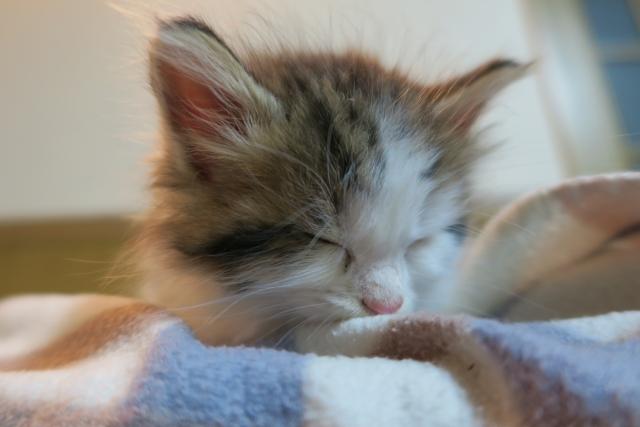 眠るノルウェージャンフォレストキャットの子供