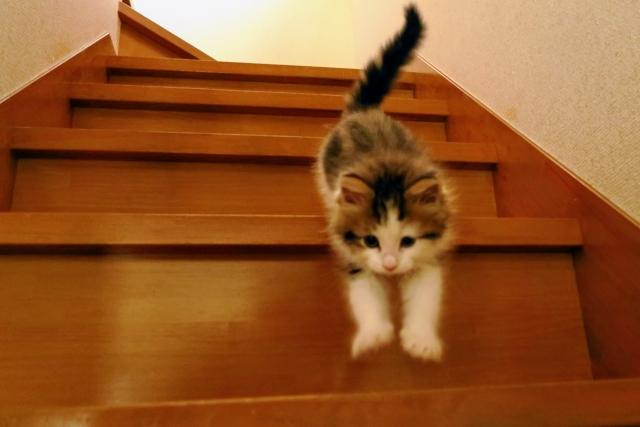 階段を降りるノルウェージャンフォレストキャット