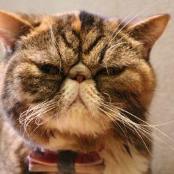猫 ネコ エキゾチックショートヘア
