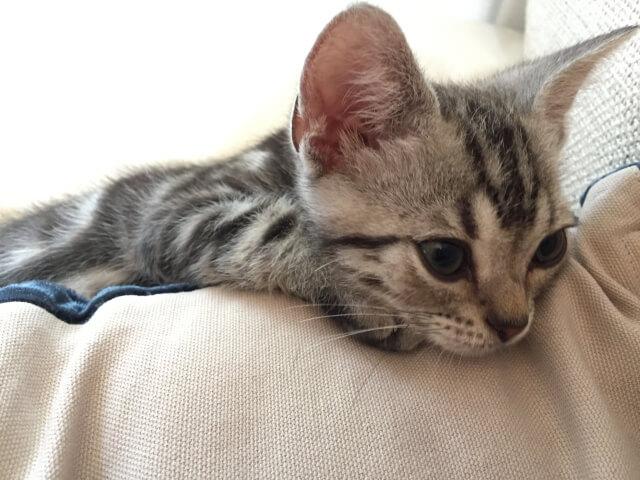 猫 子猫 ネコ アメリカンショートヘア アメショー