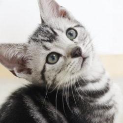 猫 ネコ アメリカンショートヘア