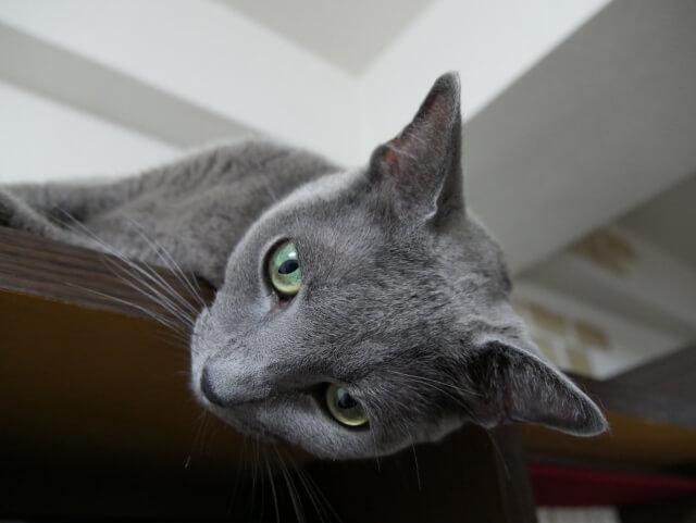 猫 ネコ ロシアンブルー 起こしやすい病気と寿命