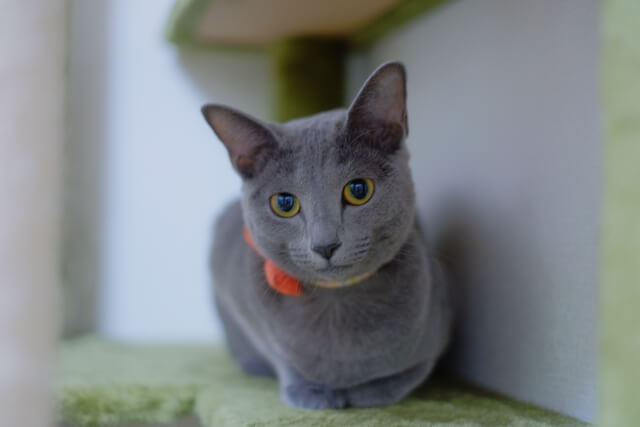 猫 ネコ ロシアンブルー 特徴