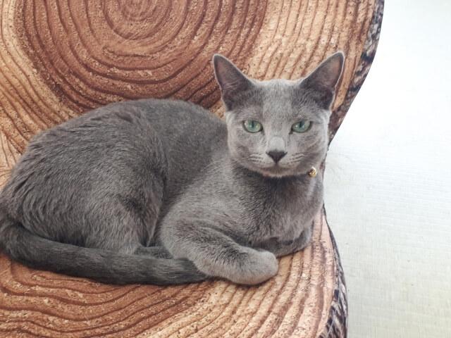 猫 ネコ ロシアンブルー