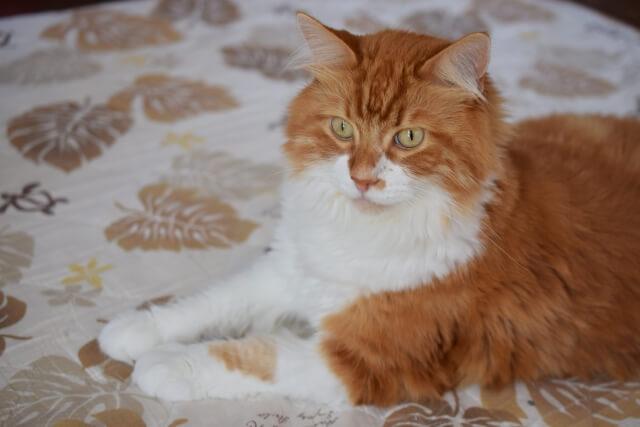 猫 ネコ メイクイーン ジェントルジャイアント 飼い方と注意点