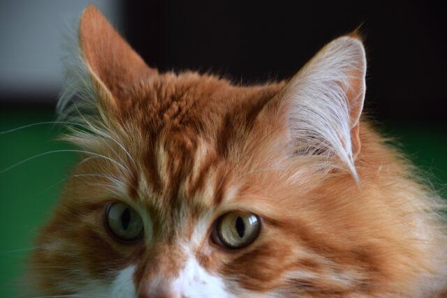 猫 ネコ メイクイーン ジェントルジャイアント 起こしやすい病気と寿命