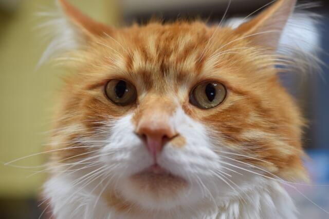 猫 ネコ メイクイーン ジェントルジャイアント 歴史