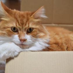 猫 ネコ メイクイーン ジェントルジャイアント