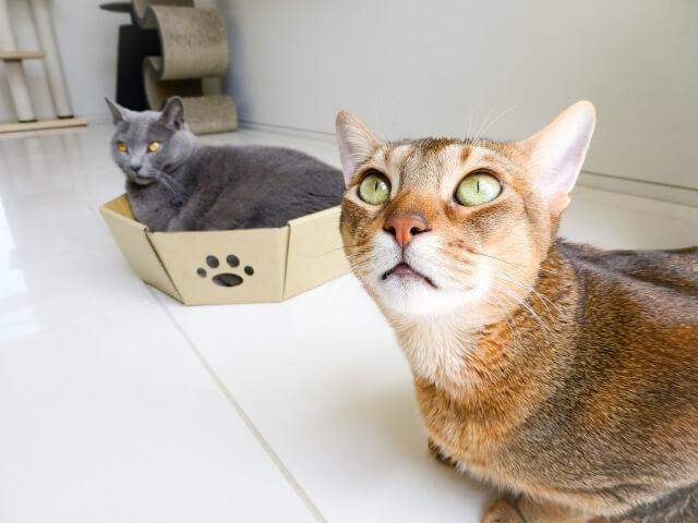 猫 ネコ アビシニアン 飼い方と注意点