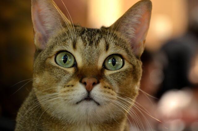 猫 ネコ アビシニアン 歴史
