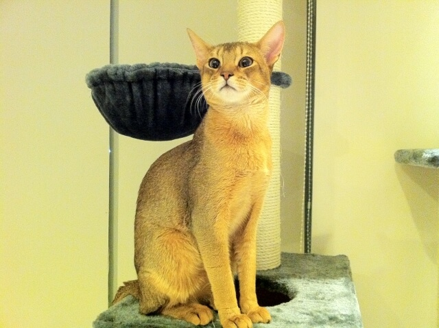 猫 ネコ アビシニアン